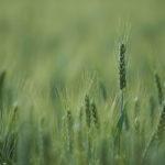 Grain_01